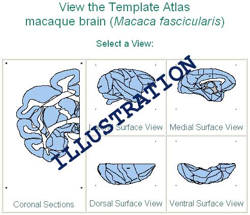 search brain atlas picture